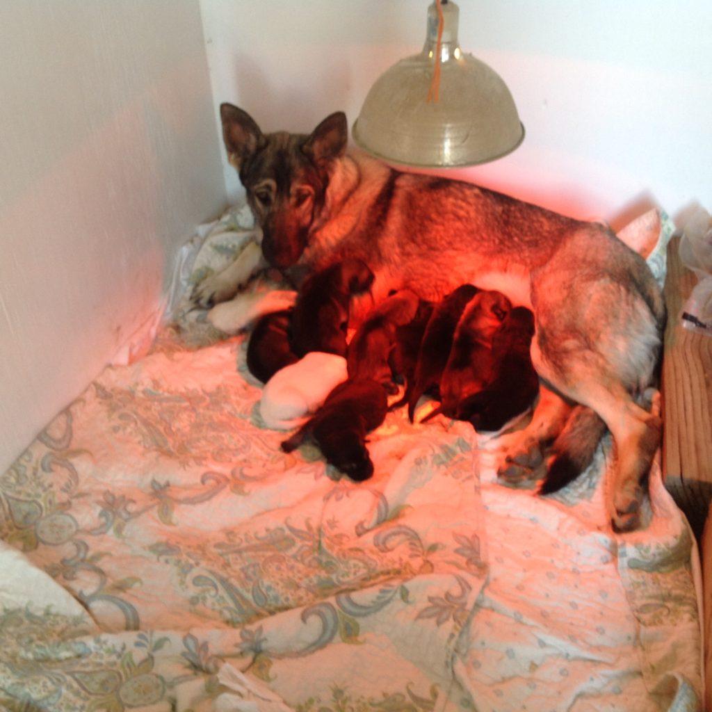 Nova Vom Fernbrook was the only all white German Shepherd in Bibi Von Helsing's litter.