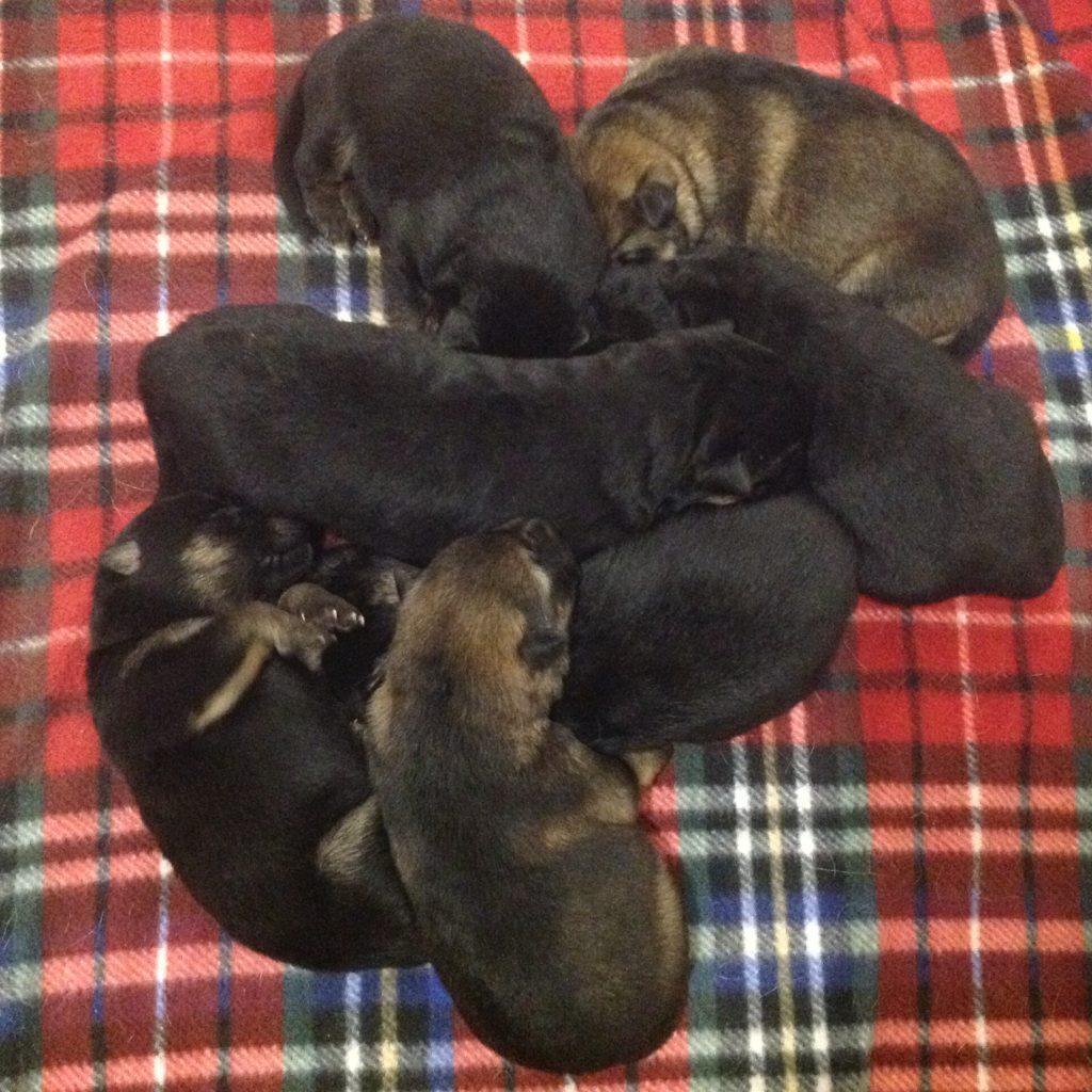 Sadee and Kaiser pups B litter 019